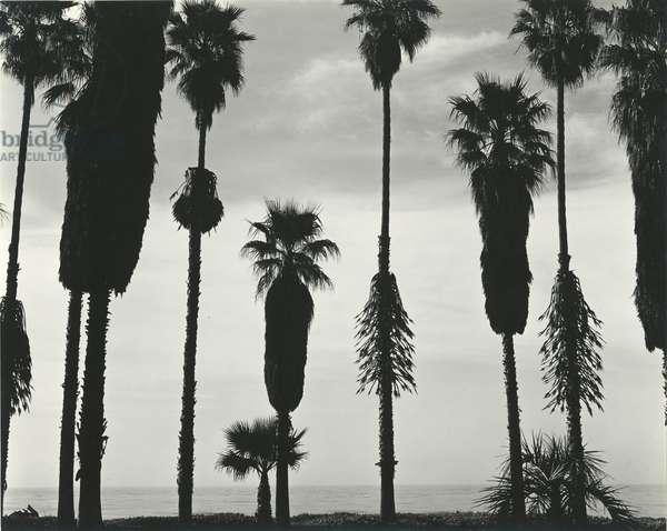 Palm Trees, Santa Barbara, California, 1958 (silver gelatin print)
