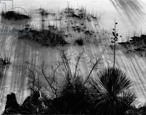 Plants, White Sands, New Mexico, 1946 (silver gelatin print)