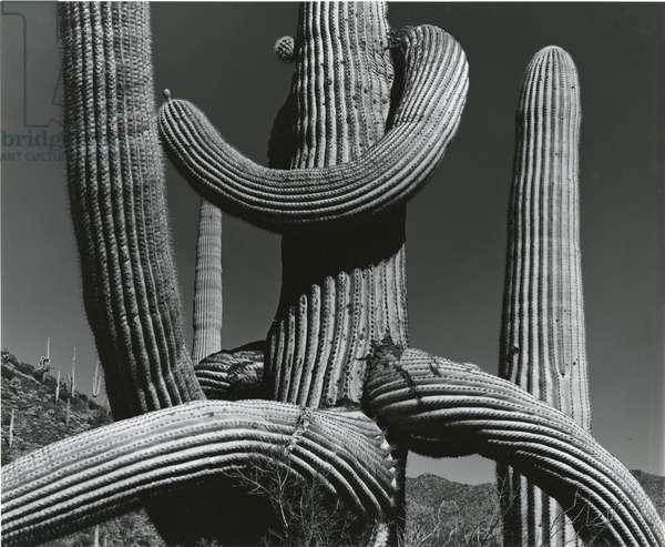 Cactus, c. 1970 (silver gelatin print)