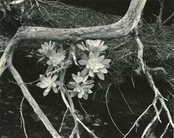 Succulent, Point Lobos, 1951 (silver gelatin print)