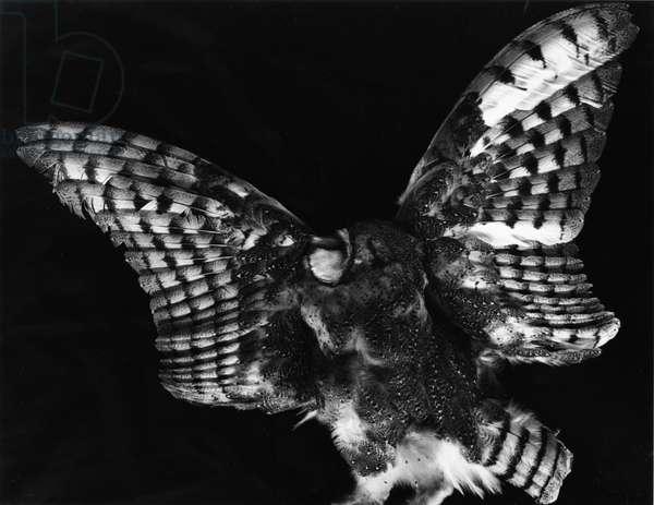 Owl, Hawaii, 1982 (silver gelatin print)