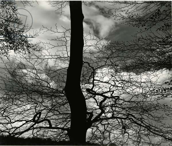 Tree, Holland, c. 1970 (silver gelatin print)