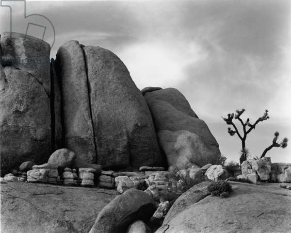Rock and Tree, Death Valley, 1951 (silver gelatin print)