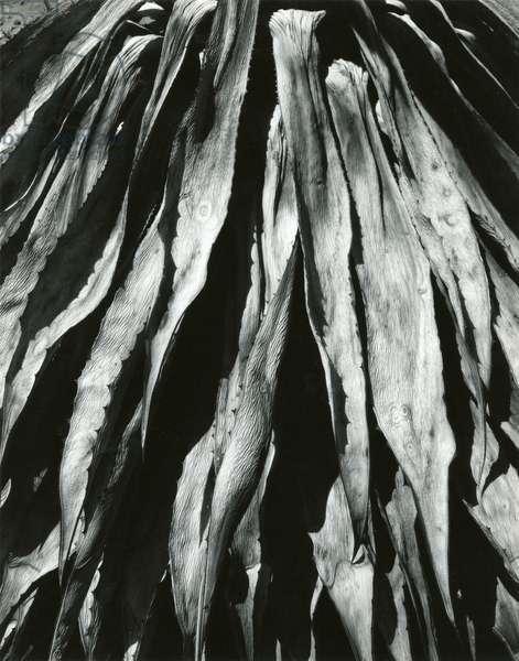 Dead Succulent, Baja, California, 1967 (silver gelatin print)