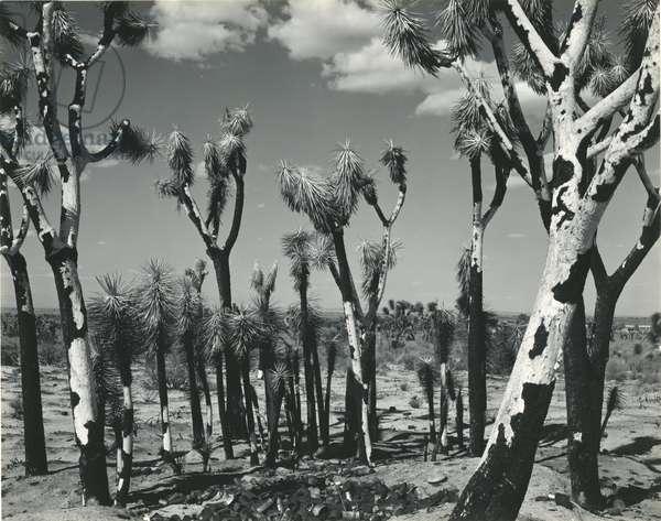 Joshua Trees, Mojave Desert, 1942 (silver gelatin print)