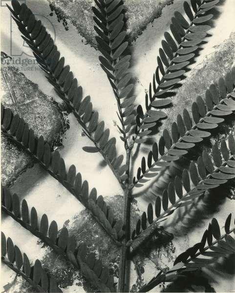 Fern Leaf, 1954 (silver gelatin print)