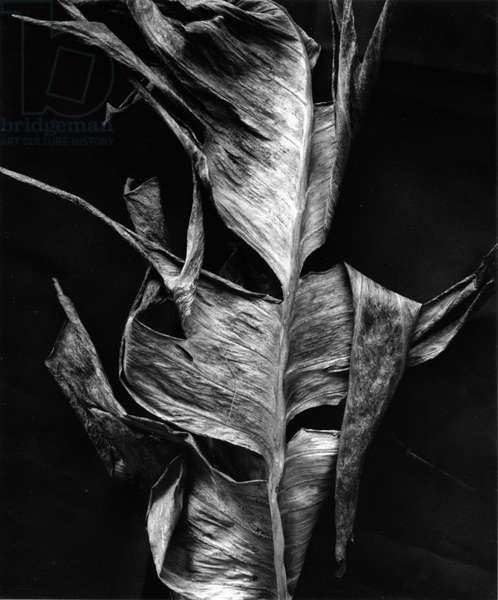 Leaf, Hawaii, c. 1980 (silver gelatin print)
