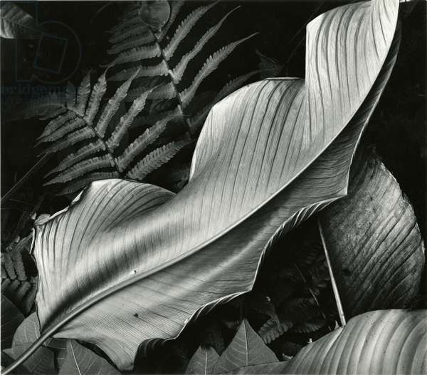 Leafs and Ferns, Hawaii, 1979 (silver gelatin print)