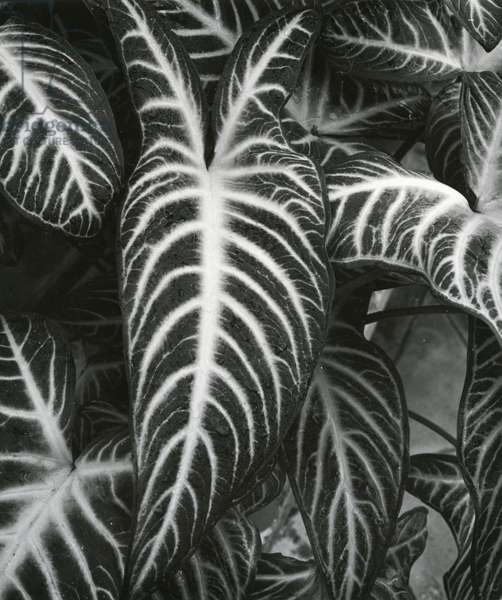 Plants and Leaves, c. 1985 (silver gelatin print)