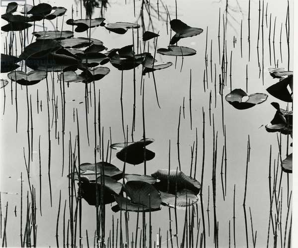 Lily Leaves and Reeds, Alaska, 1977 (silver gelatin print)