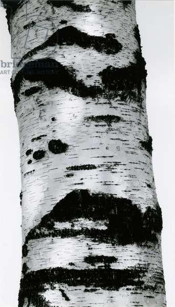 Tree Bark, 1960 (silver gelatin print)