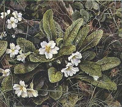 Primula (w/c, gouache on paper)