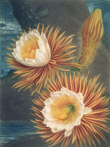 The Night-Blowing Cereus, from 'The Temple of Flora' by Robert Thornton, published 1812 (coloured engraving)