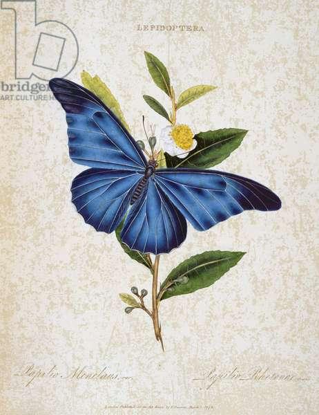 Butterflies: Papilio Menelaus and Papilio Rhetenor, published by E.Donovan, London 1798