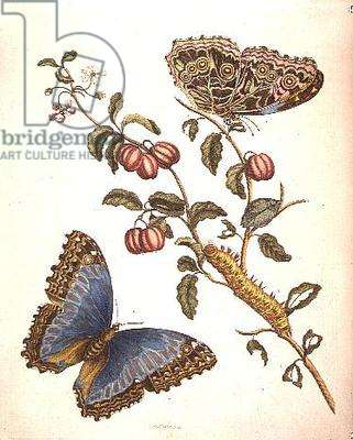 Butterflies and Caterpillar: engraved by P. Huytec (19th century)