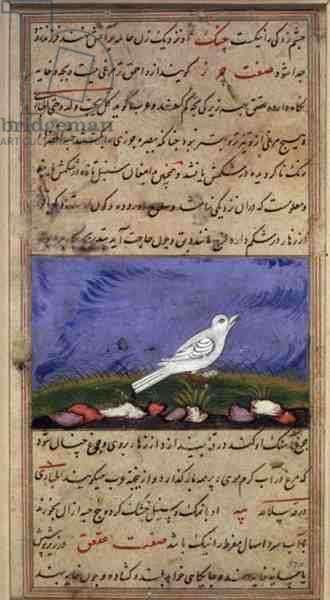 A Small White Bird, from Nuzhat-Namah I'Ala'i, 1599 (1007 Hijra) (vellum)