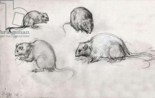 Studies of rats, circa 1870 (drawing)