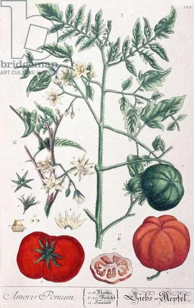 The golden apple (tomato) Tomato