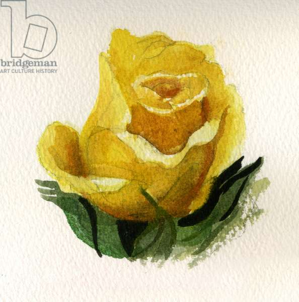 Yellow Rose, 2009 (w/c on paper)