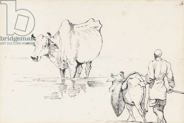 Studies of Indian Cattle (pen & ink on paper)