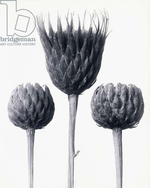 Serratula Nudicaulis (Bare-stemmed Common Sawwort), c.1928 (gelatin silver print)