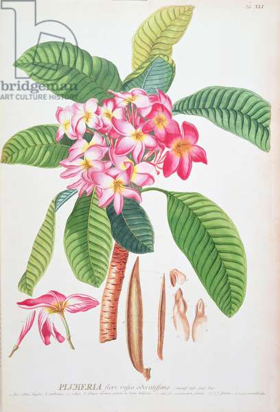 Plumeria: from Plantae Selectae, by Christoph Jacob Trew and Georg Dionysius Ehret (1710-70); Frangipanier;