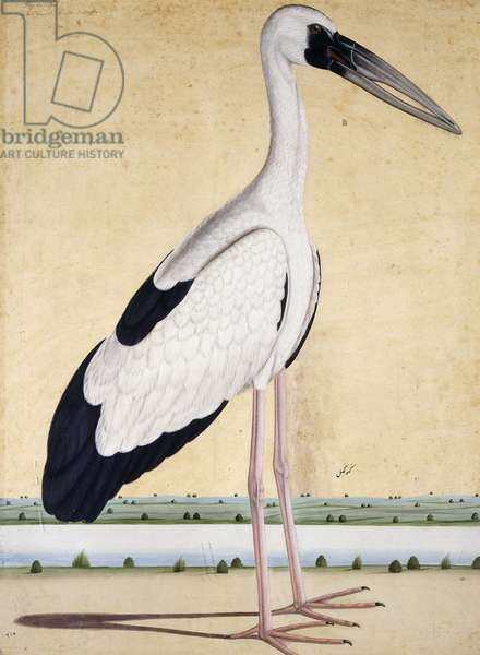 An Open-Beaked Stork, c. 1780 (pencil and w/c)