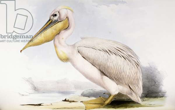 Great White Pelican (Pelecanus onocrotalus), 1832-1837 (hand-coloured lithograph)