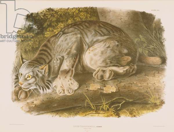 Canada Lynx (Lynx Canadensis) plate from 'The Viviparous Quadrapeds Of North America', 1845-54 (colour litho)