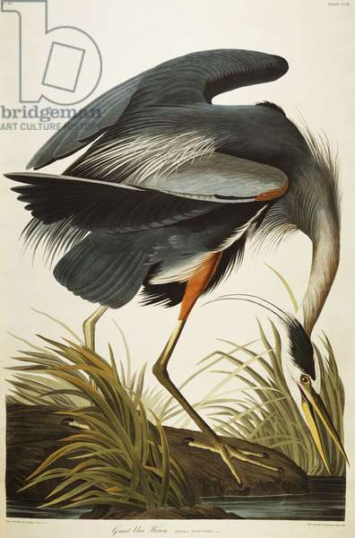 Great Blue Heron (Ardea Herodias) plate CCXI from 'The Birds of America' (aquatint & engraving with hand-colouring)