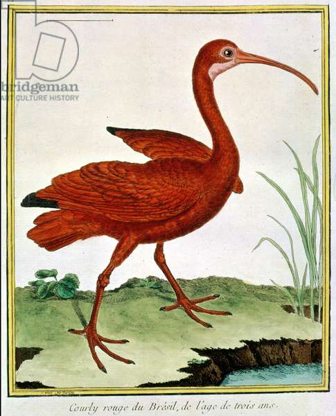 Histoire Naturelle des Oiseaux - Le Courly Rouge
