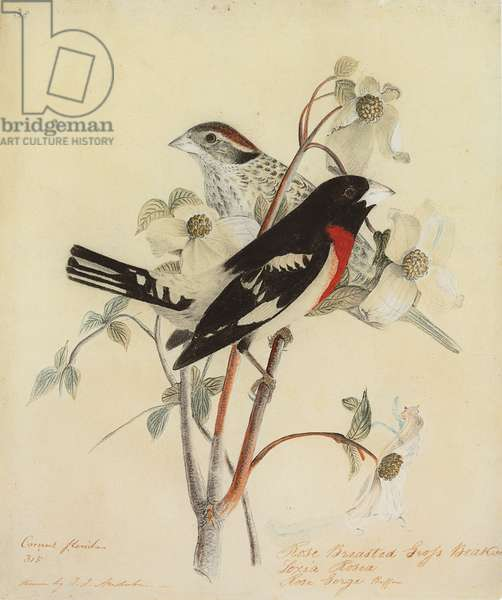 Rose-Breasted Grosbeak, 1938 (watercolour and pencil on paper)
