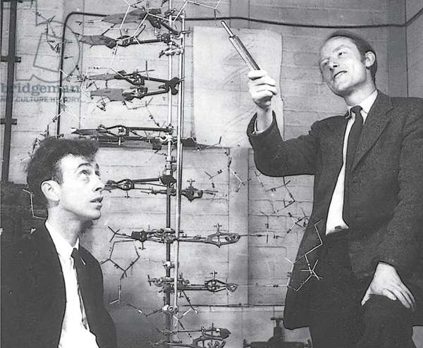 Francis Crick and James Watson with their model of DNA, 1950s-60s (b/w photo)