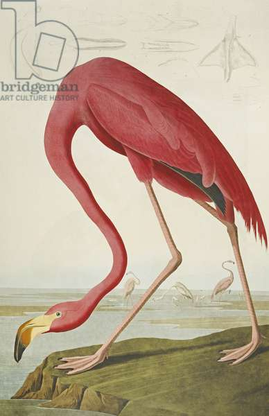 American Flamingo, from 'The Birds of America' (aquatint & engraving with hand-colouring)