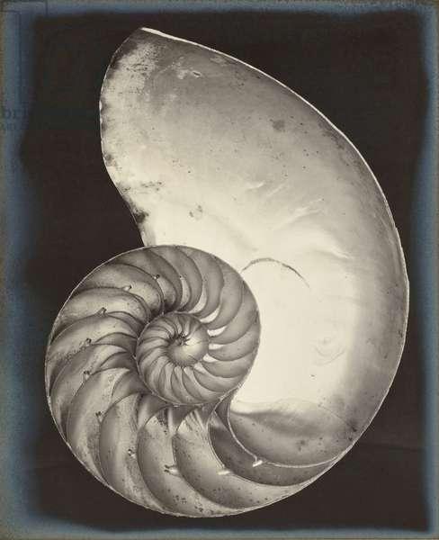 Nautilus Shell, 1927 (gelatin silver print)