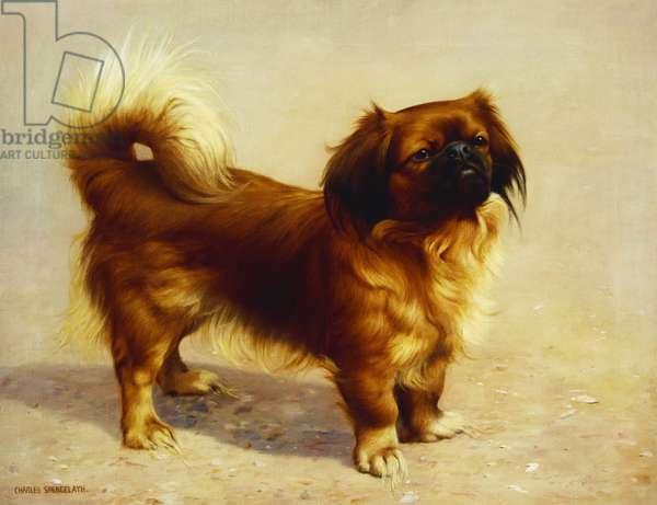A Pekinese (oil on canvas)