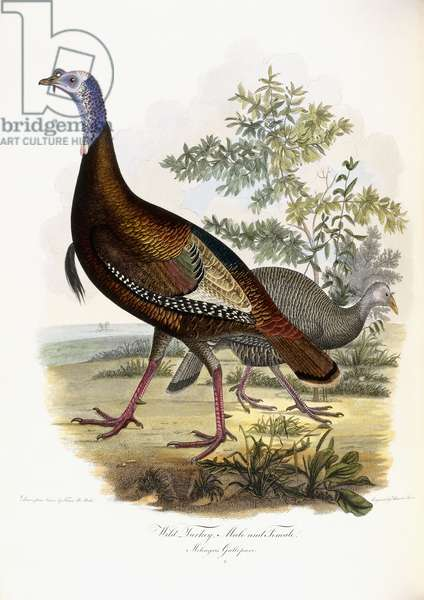 Wild Turkey, Male and Female, 1808-1814 (hand-coloured engraving)