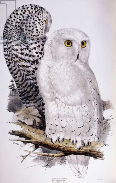 Snowy Owl, 1832-1837 (hand-coloured lithograph)