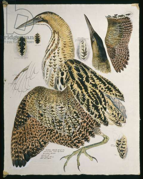 Bittern (page from a sketch book)