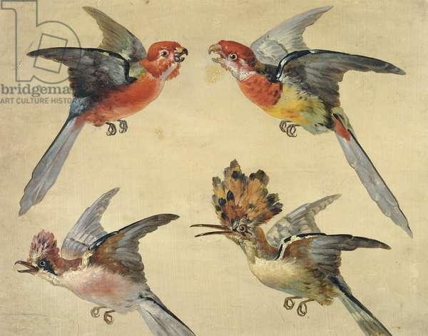 Study of Birds: Two Parrots, a Hoopoe and a Jay; Etudes d'Oiseaux: Deux Petits Perroquets, une Huppe et un Geai,  (oil on paper, black chalk)