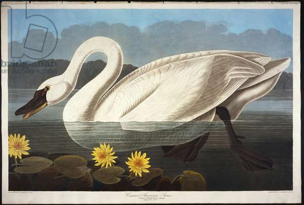 Common American Swan. Whistling Swan (Olor Colombianus) from 'The Birds of America' (aquatint & engraving with hand-colouring)