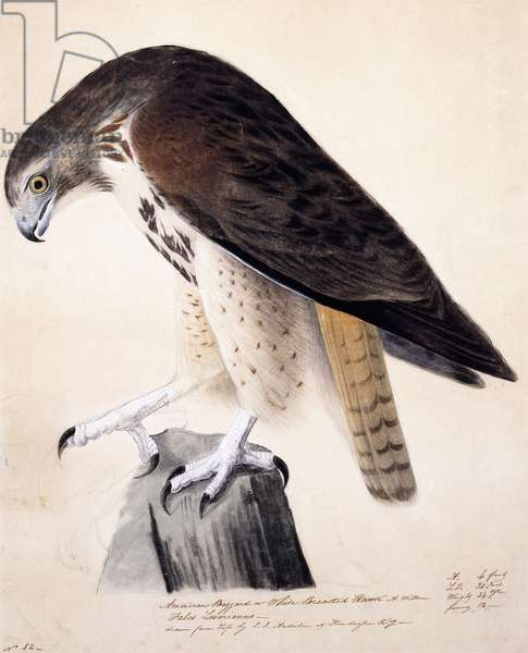 American Buzzard or White Breasted Hawk,  (pastel, pencil and chalk on paper)