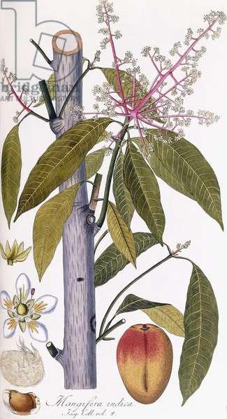 Mangifera indica (Mango), c.1781-1795 (hand-coloured engraving)
