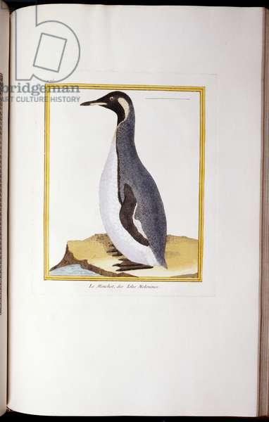 A Penguin, Falkland Islands, from 'Histoire Naturelle des Oiseaux', 1770-86 (hand-coloured engraving)