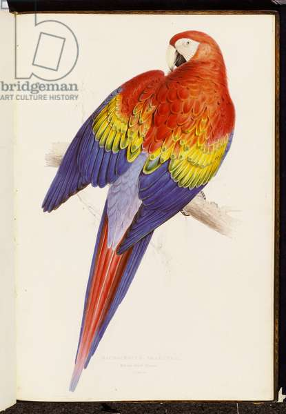 Red and Yellow Maccaw (Macrocercus aracanga), From 'Illustrations of the Family of Psittacidae or Parrots', 1830-32 (hand-coloured litho)