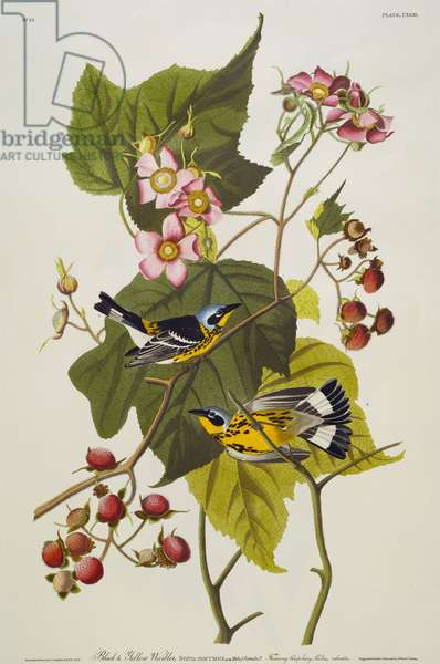 Black And Yellow Warbler. Magnolia Warbler (Dendroica Magnolia) plate CXXIII from 'The Birds of America' (aquatint & engraving with hand-colouring)