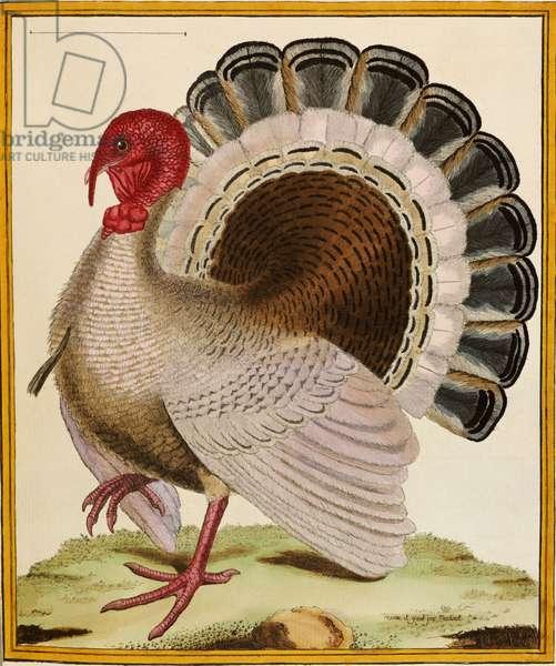 A Turkey, from 'Histoire Nouvelles des Oiseaux', 1771-86 (hand-coloured engraving)