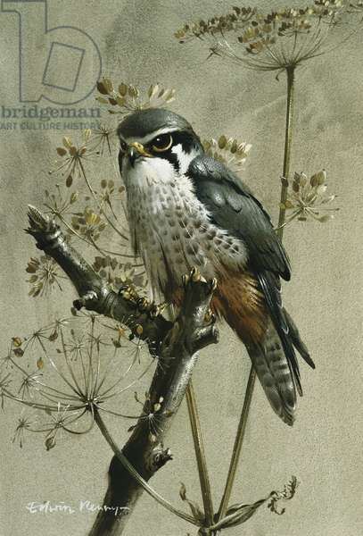 A Hobby, (watercolour and bodycolour)