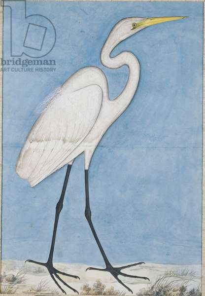 A Great Egret, Lucknow, c.1790 (pencil & w/c on paper)