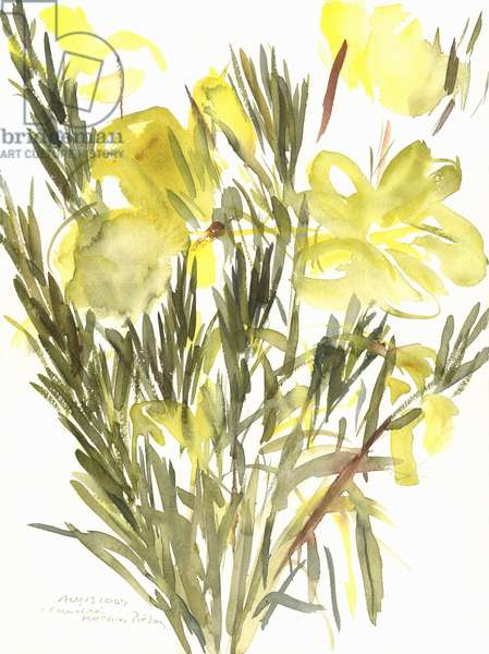 Evening primroses; 2004 (watercolour)